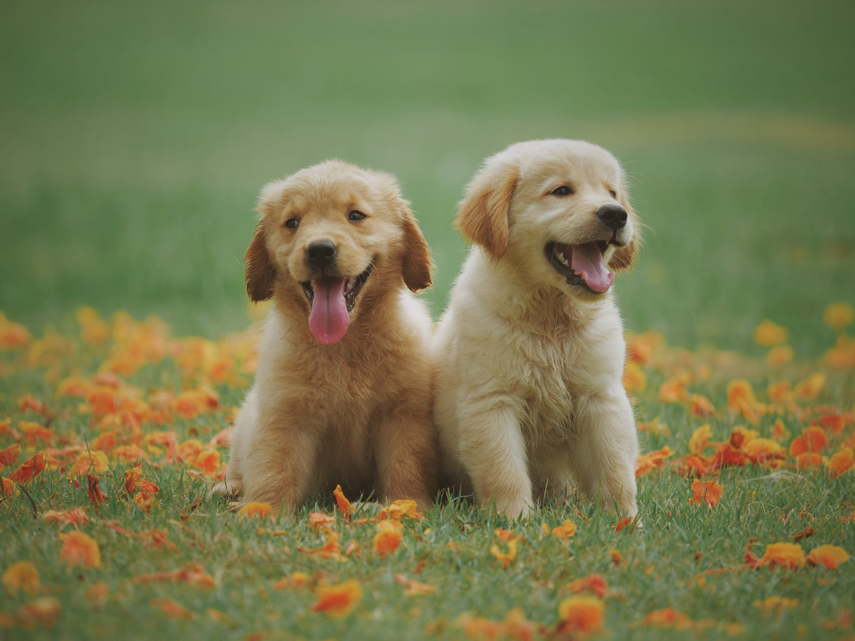 Janice L. Blake Heal Your Animal Heal Your Life Yellow Lab Puppies