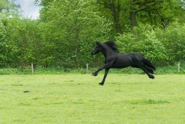 Horse in field black horse galloping Your Mane Track
